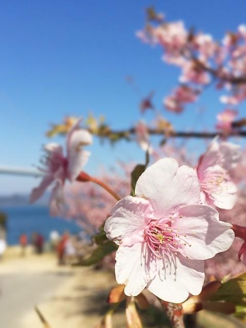 しまなみ海道・河津桜