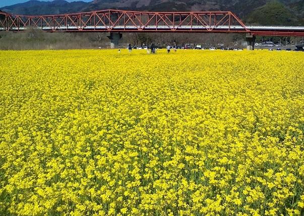 河川敷の菜の花1