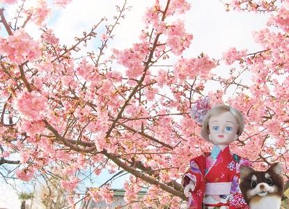河津桜も咲いていました