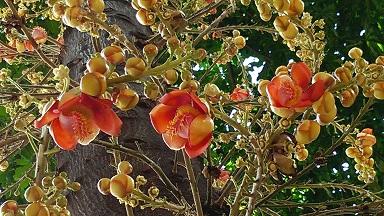 沙羅樹 02