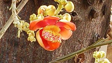 沙羅樹 03