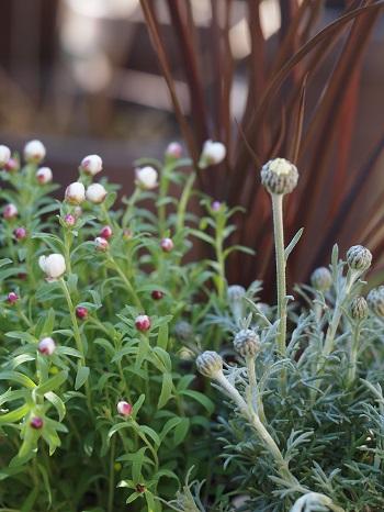 花カンザシとローダンセマム