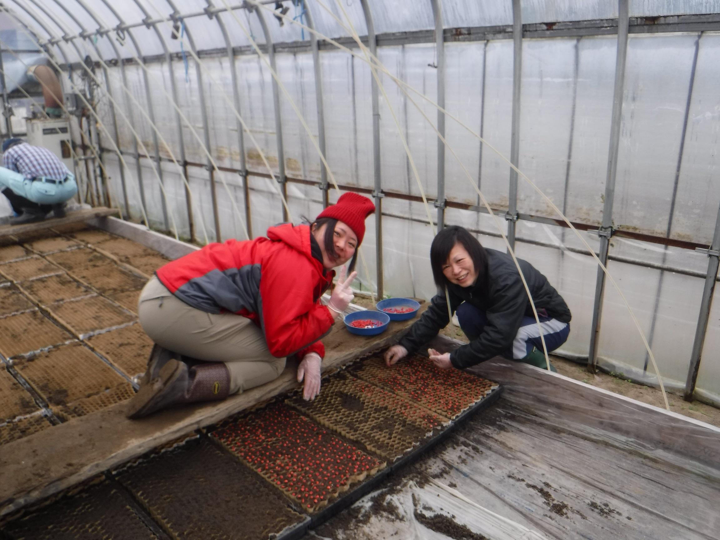 トウモロコシ苗作り播種