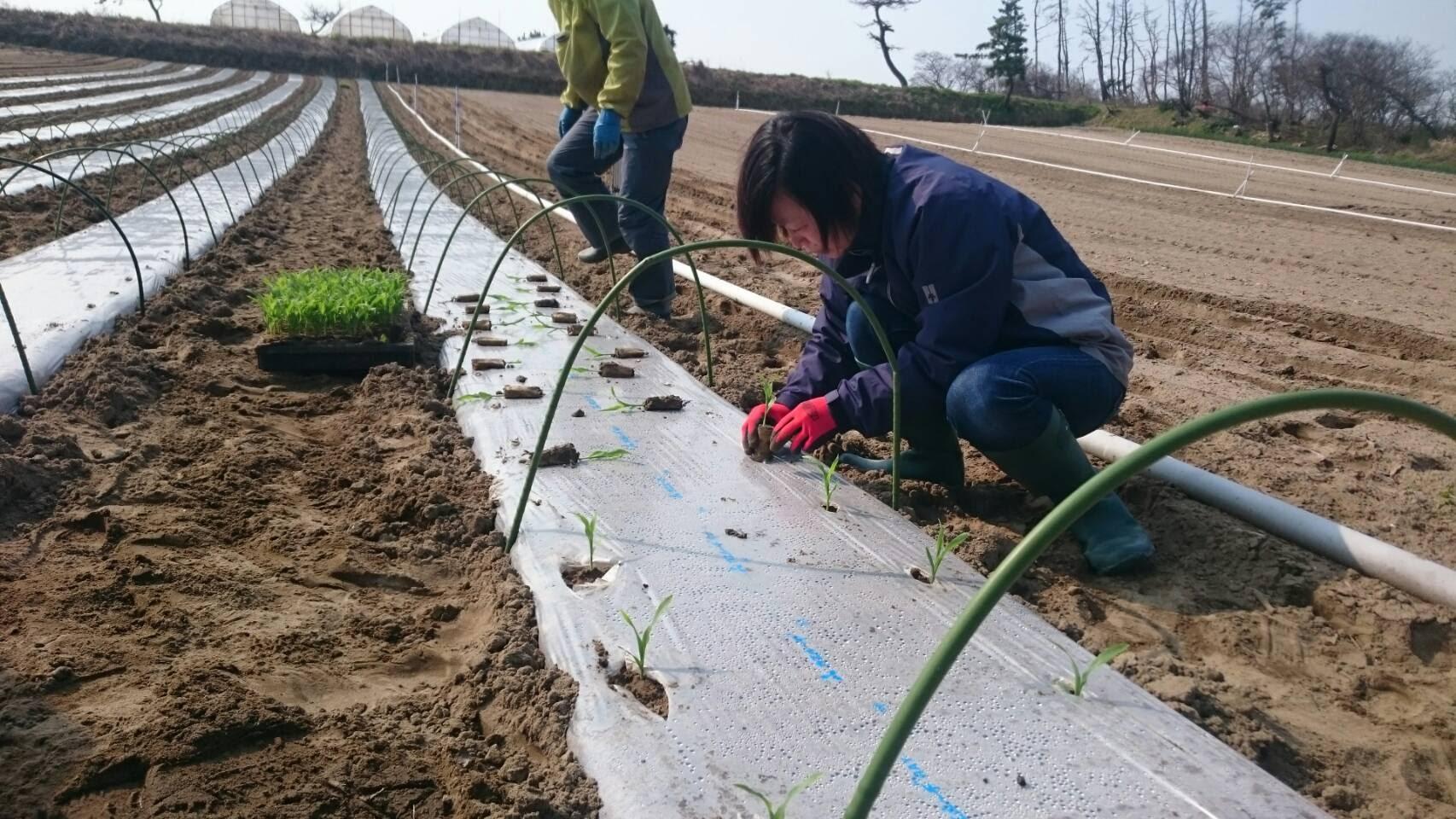 トウモロコシ定植のお手伝い