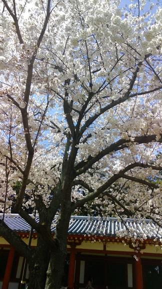 4西回廊前の桜-1