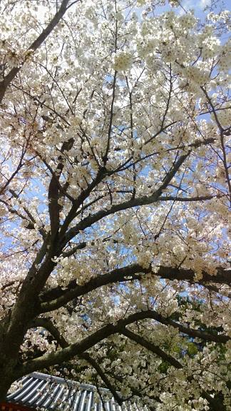 4西回廊前の桜-2