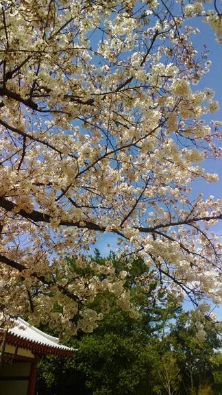 4西回廊前の桜-3