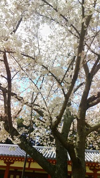 4西回廊前の桜-4