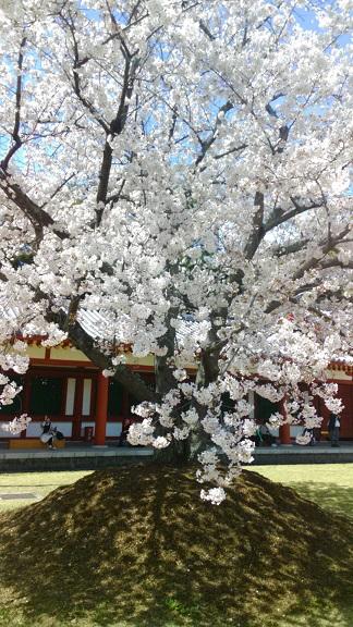 4西回廊前の桜-6