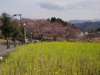 太陽が丘学びの桜