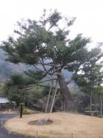 仙巌園の木160201