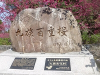 九族八重桜160305