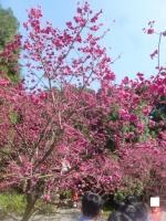 九族文化村の八重桜160305