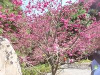 八重桜160305