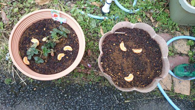 いちごの肥料らしきミカン