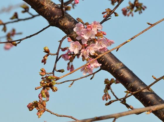 DSC_6702河津桜
