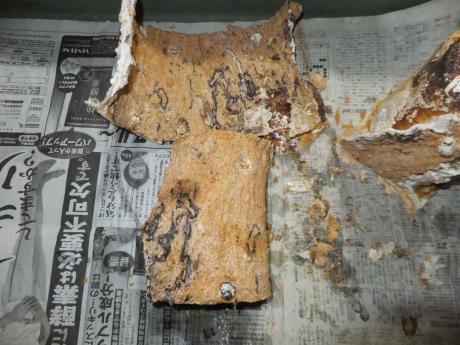 カワラ植菌材の樹皮を剥がした所。。。