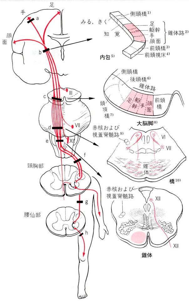 皮質脊髄路 各体部位局在スライス画像入り