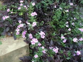 日日草と紫葉1
