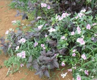 日日草と紫葉2