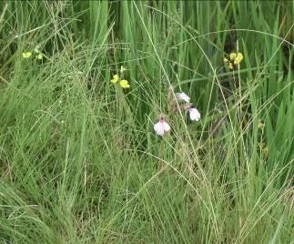 アンチラベの花1