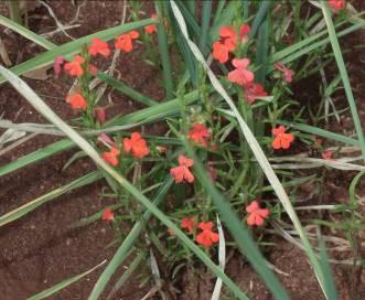 陸稲の雑草ストライガ