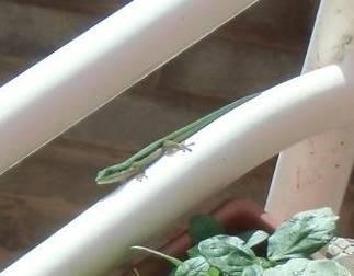 緑トカゲ子供1