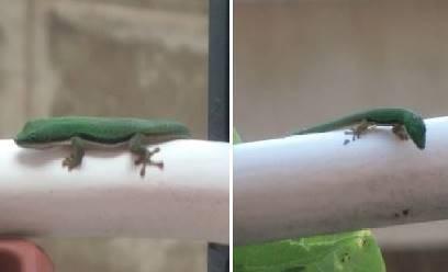 緑トカゲ子供3