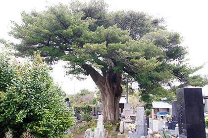 151214富浦市釈迦寺の槇①
