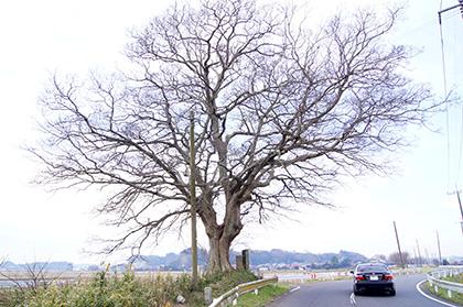 151221北須賀の欅⑥