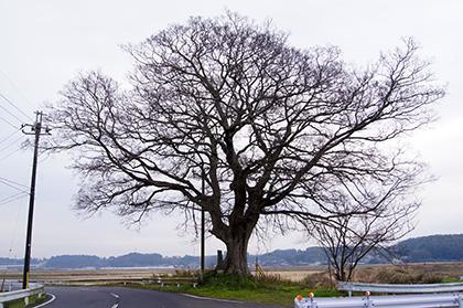 151221北須賀の欅⑦