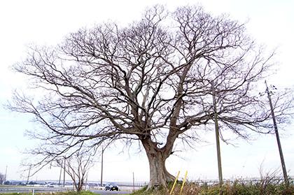 151221北須賀の欅⑧