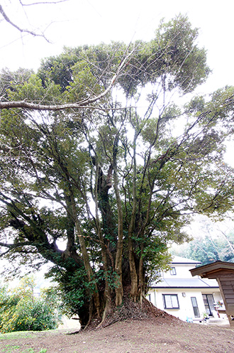 151221成田市押畑の大椎①