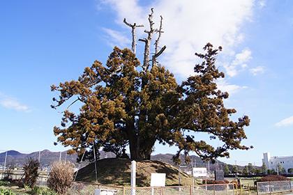 160107足利市鵤木の一本杉①