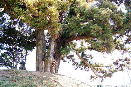 160107足利市鵤木の一本杉②