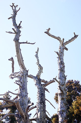 160107足利市鵤木の一本杉④