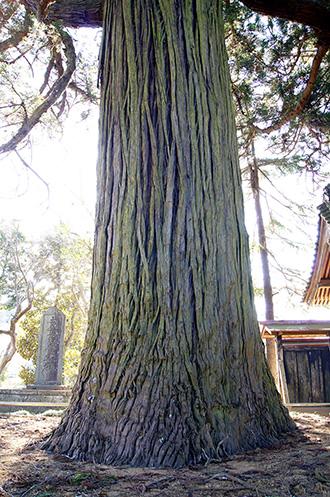 160211香取市安興寺の大杉④