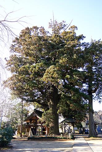 160211香取市安興寺の大杉⑤
