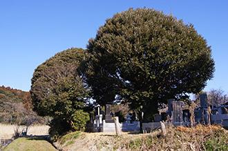 160211香取市安興寺の大杉⑦