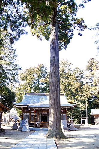 160211香取市大戸神社の杉①