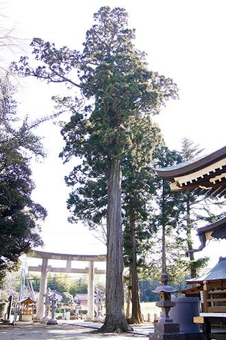 160211香取市大戸神社の杉②