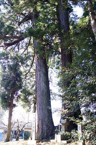 160211香取市大戸神社の杉③