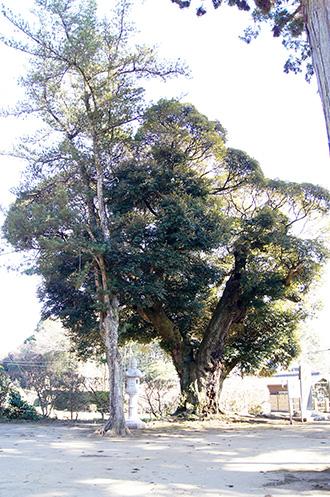 160211香取市大戸神社の杉⑤