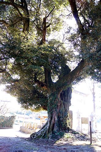 160211香取市大戸神社の杉⑦