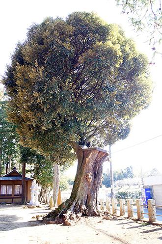 160211香取市大戸神社の杉⑩