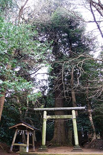 160223星宮神社の杉①