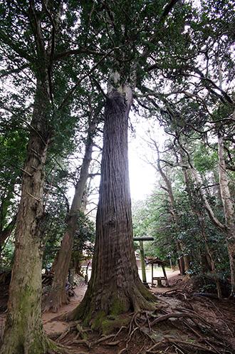 160223星宮神社の杉②