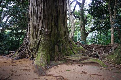 160223星宮神社の杉③