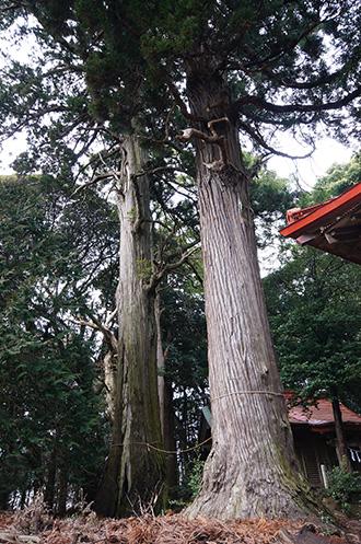 160223稲葉山神社杉①