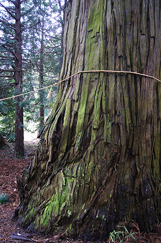 160223稲葉山神社杉④